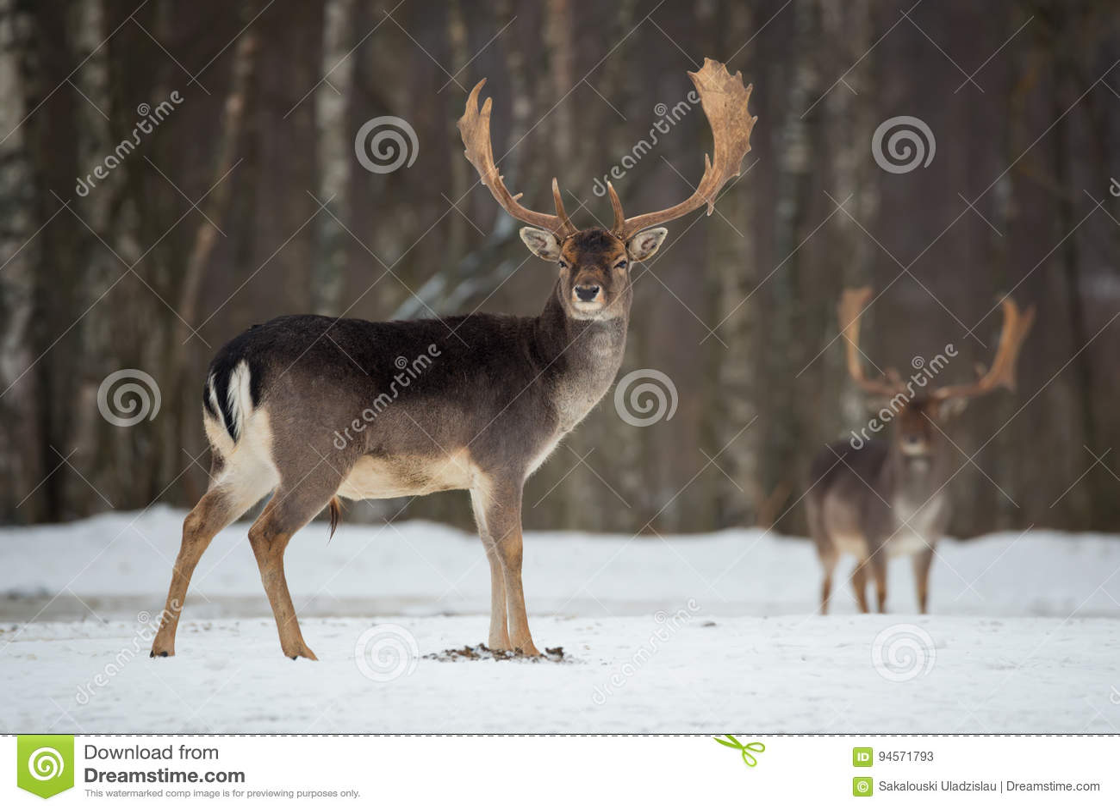 Dollaro dei daini Daini adulti potenti maestosi, dama dama, nella foresta di inverno, la Bielorussia Scena della fauna selvatica