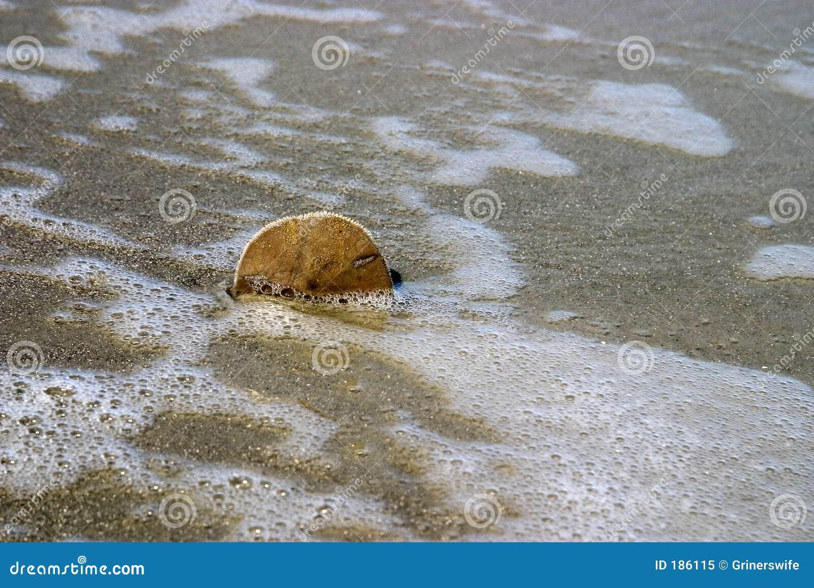 Dollaro di sabbia nella sabbia