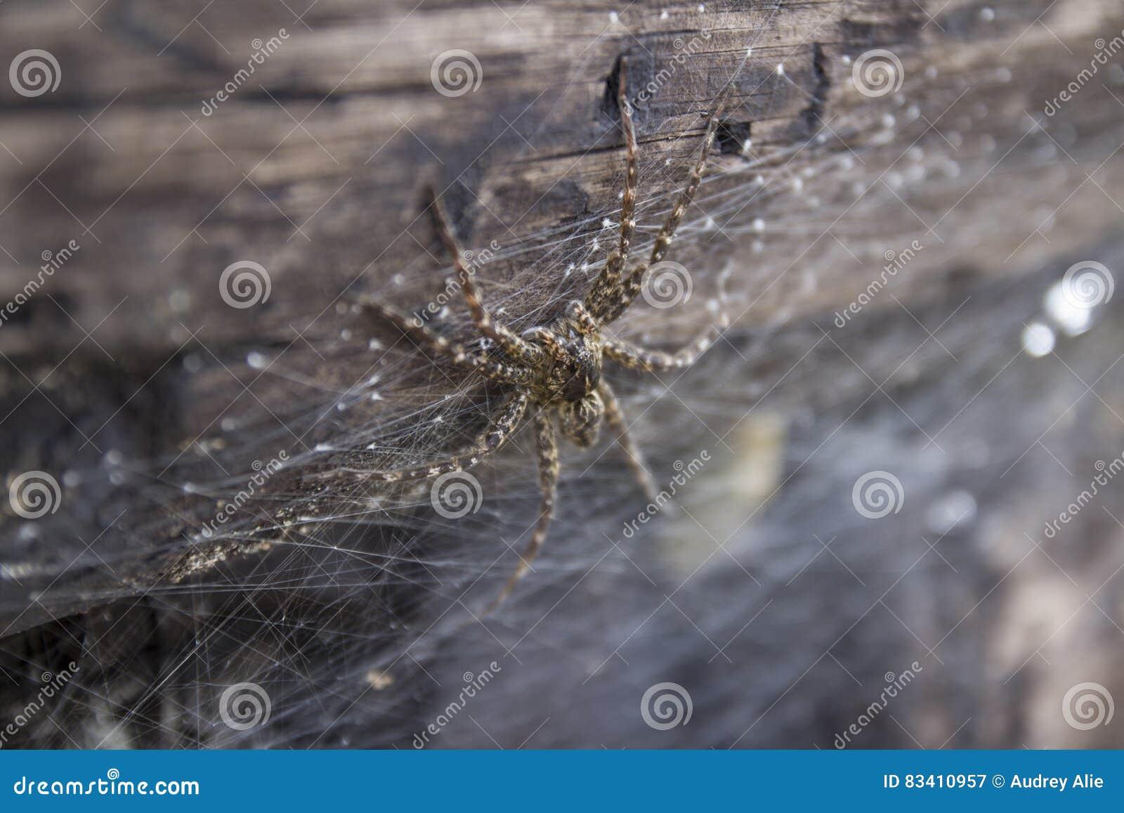 A Dolomedes Spider up close