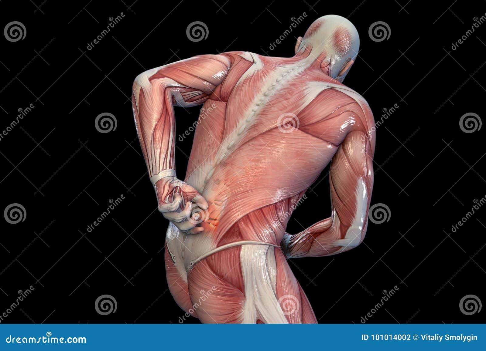 Dolor De Espalda Anatómico De La Visión Ilustración 3D Stock de ...