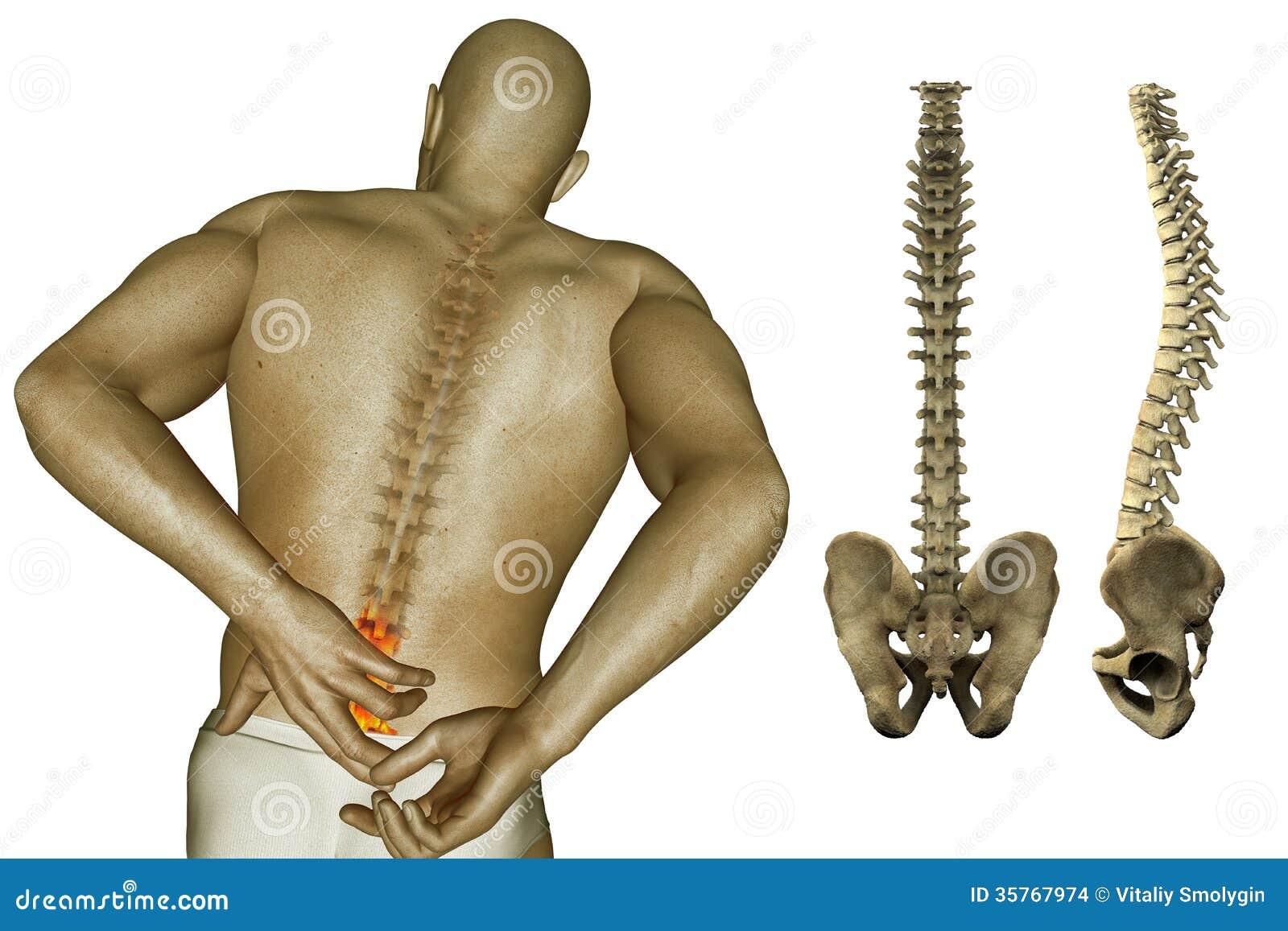 Lujoso Imagen De La Espina Dorsal Humana Modelo - Anatomía de Las ...