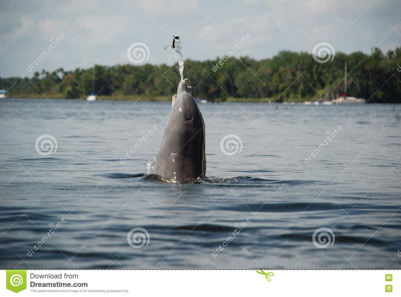 Dolphin catching fish in crystal river in florida stock for Crystal river fl fishing