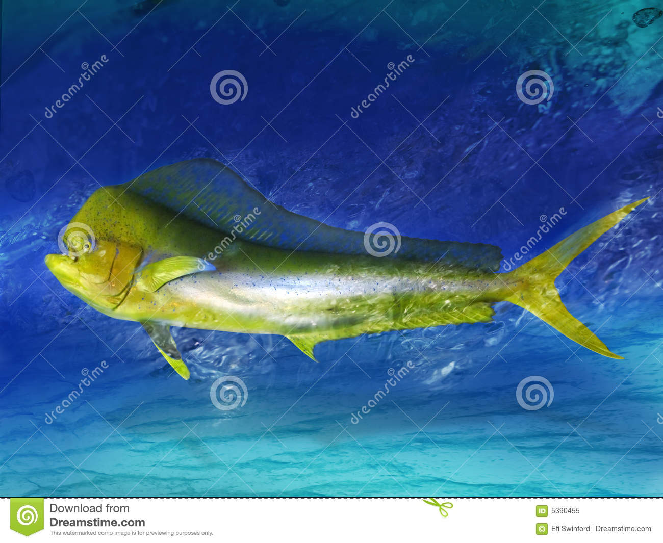Dolphin fish royalty free stock photo image 5390455 for Dolphin fish pictures