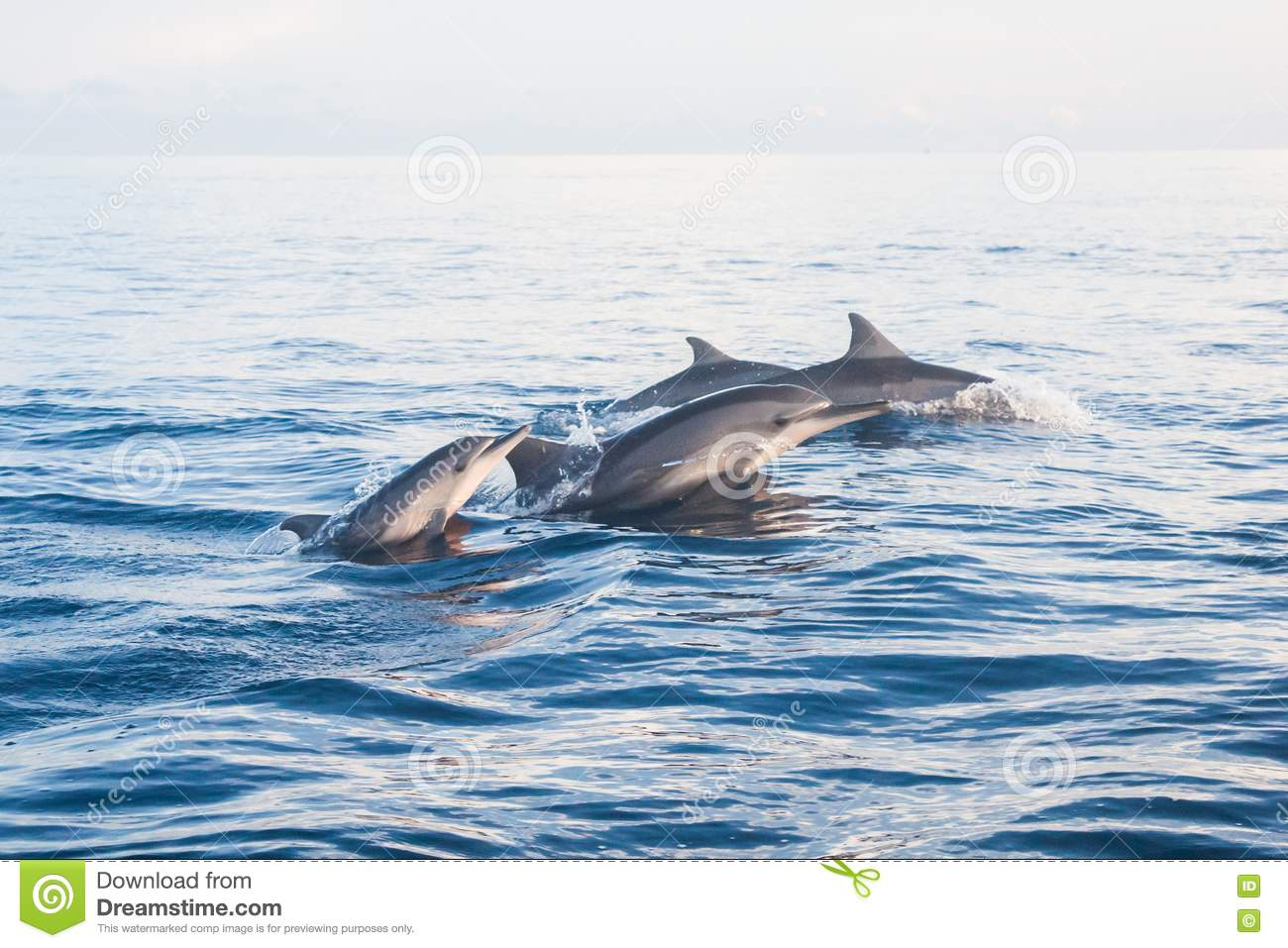 Download Dolphin Jumping In Dolphin Beach Lovina, Bali Stock Image - Image of outdoor, ocean: 74948503