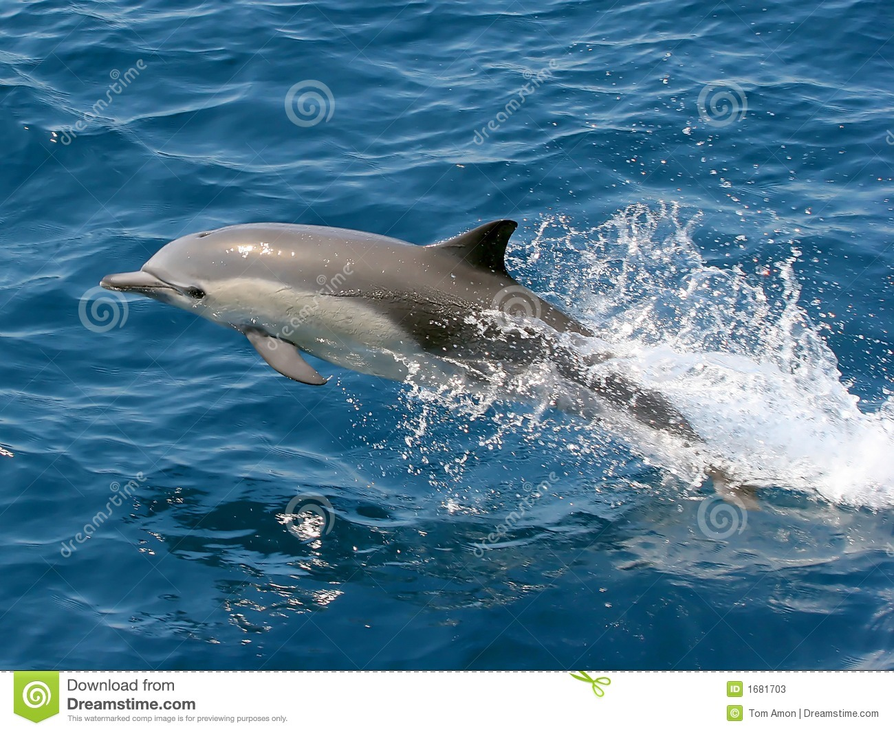 Download Dolphin Jumping In The Ocean Stock Image - Image of freedom, leaping: 1681703
