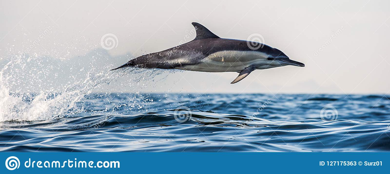 Dolphin jumping out of water. The Long-beaked common dolphin.