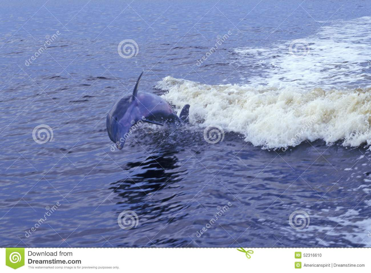 Dolphin playing in water, Everglades National Park, 10, 000 Islands, FL