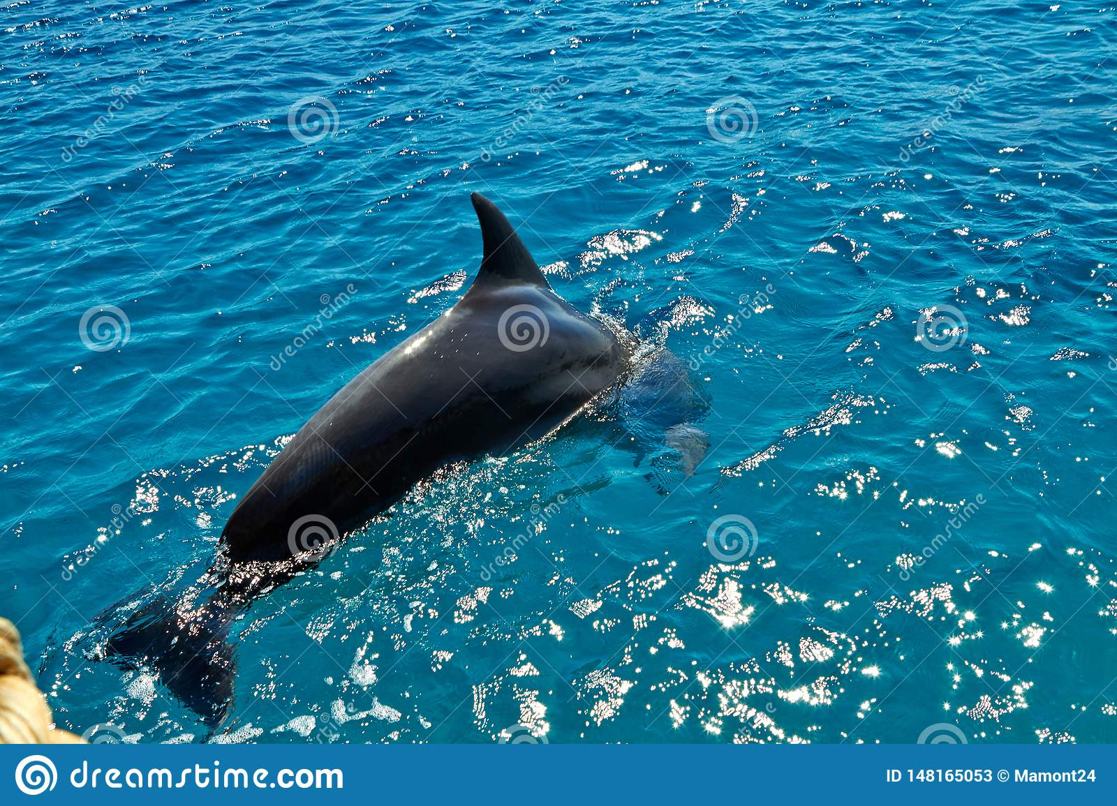Dolphin in the Red Sea