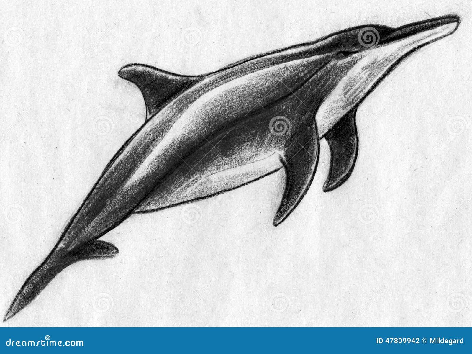 dolphin sketch stock illustration illustration of doplhins 47809942