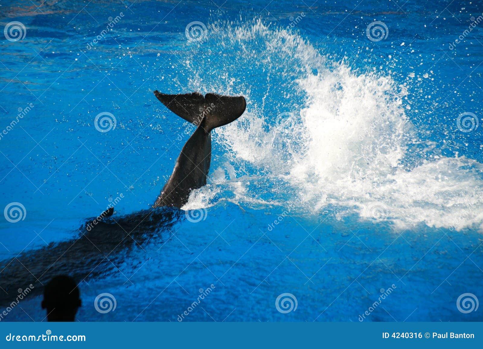 Dolphin splashing