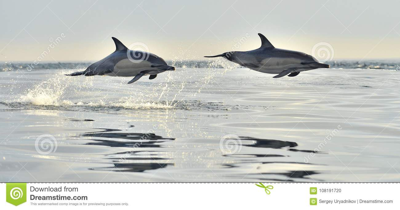 Dolphin Swim And Jumping From The Water  Stock Photo - Image of
