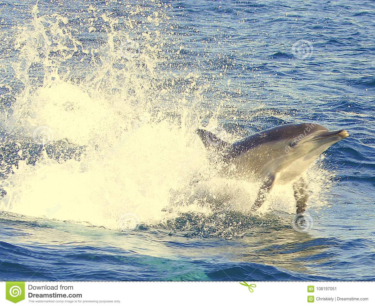 Dolphin Swimming in Blue Water
