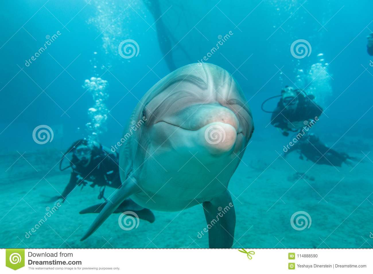 Dolphin swimming with divers in the Red Sea a.e