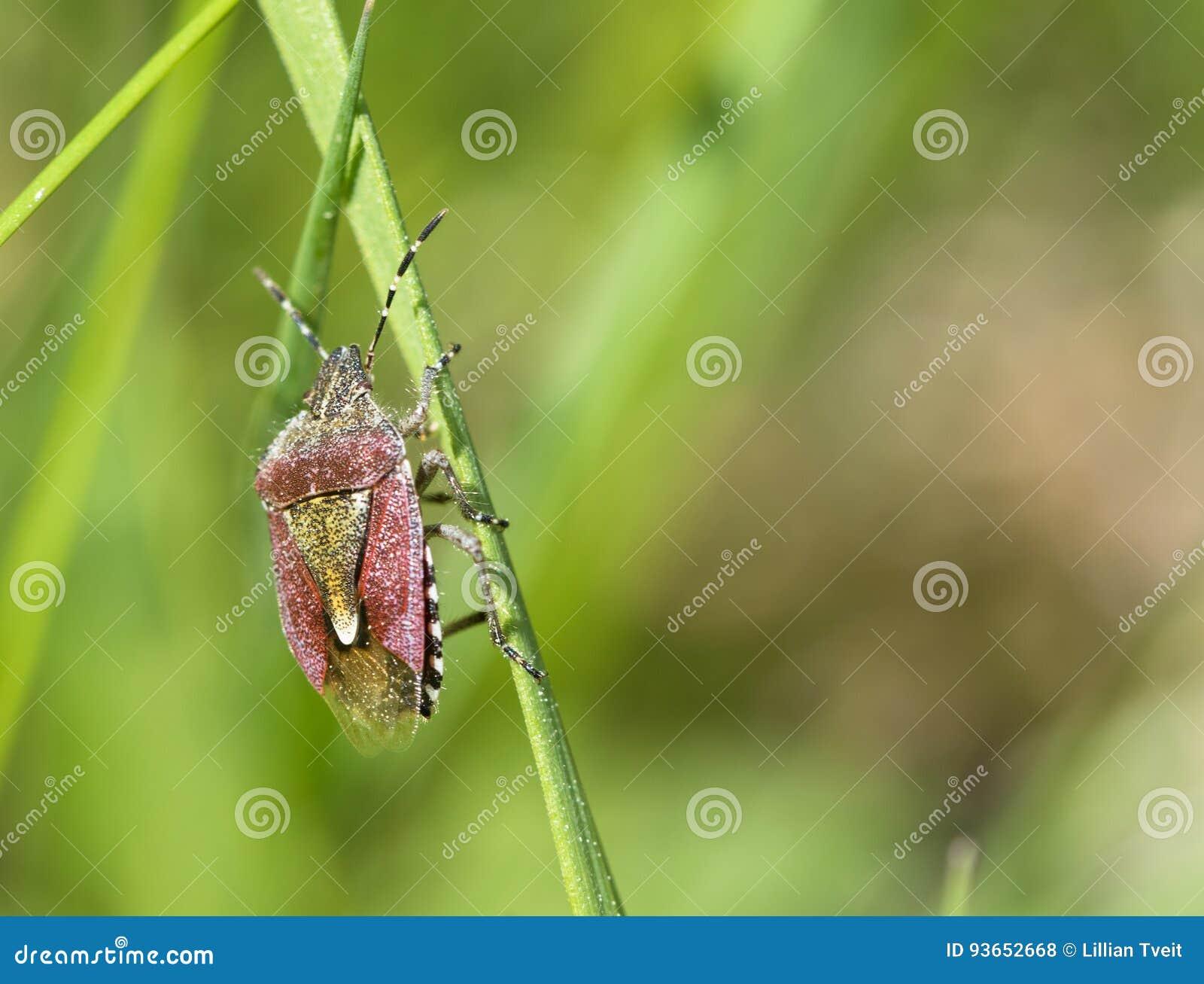 Dolycoris baccarum Eine Beerenwanze oder ein haariges shieldbug auf einem Stroh des grünen Grases