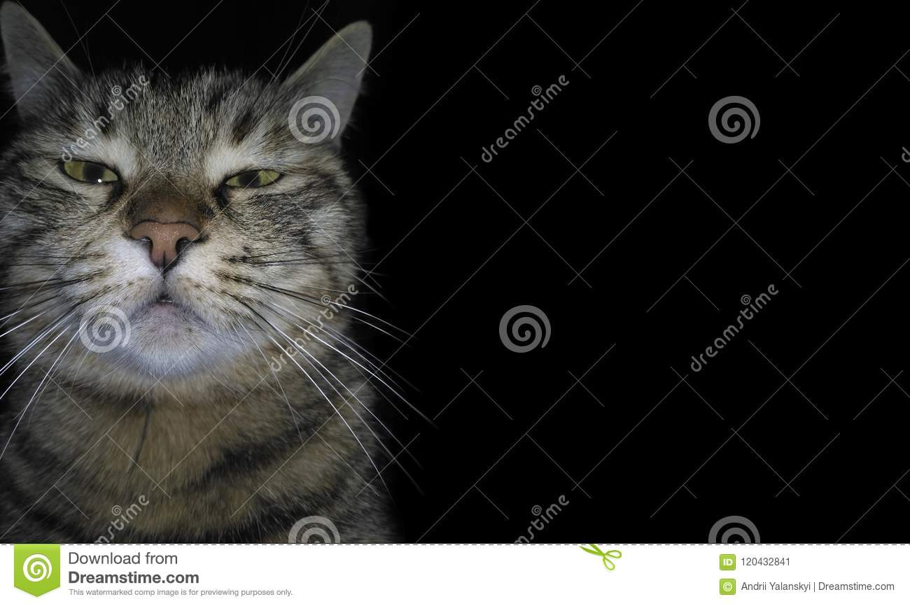 The domestic angry cat breaks the fourth wall and looks at the viewer, on a black background. A gloomy sleepy kitten. Funny muzzle