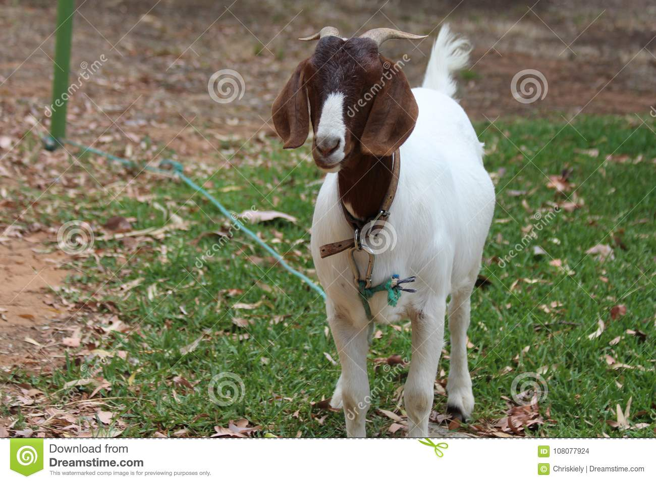 Brown and White Pet Goat stock photo  Image of numerous