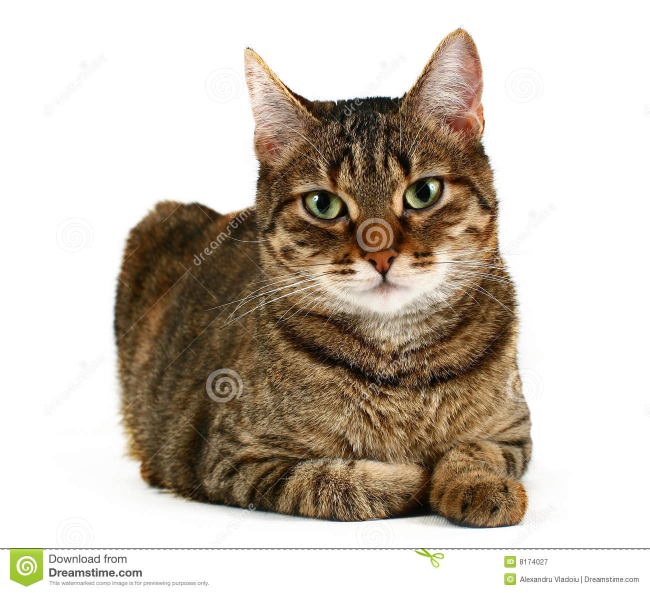 Domestic Cat Royalty Free Stock Photography Image 8174027