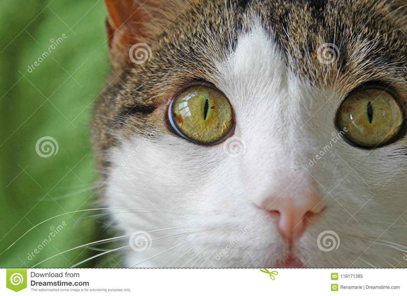 Domestic cat with big bright hazel colored eyes, soft pink nose and white face and whiskers looking into camera