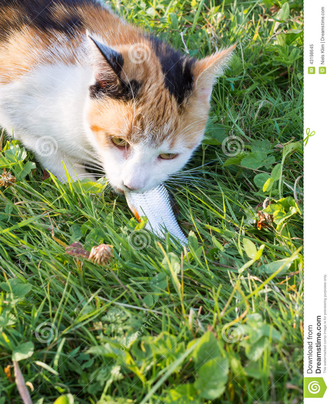 Domestic cat eating a raw fish stock photo image 43198645 for Can cats eat raw fish