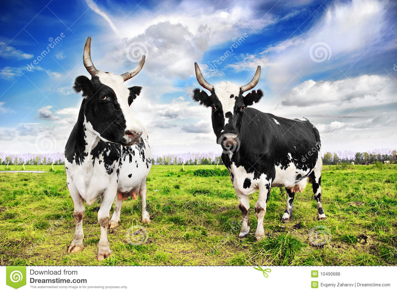 Domestic cattle