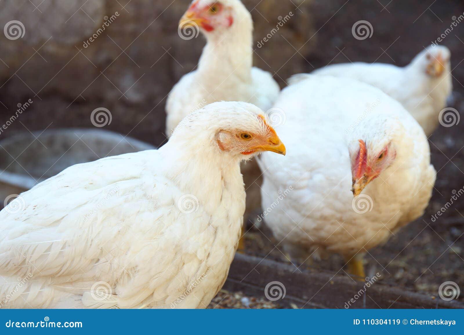 Domestic chickens at farm