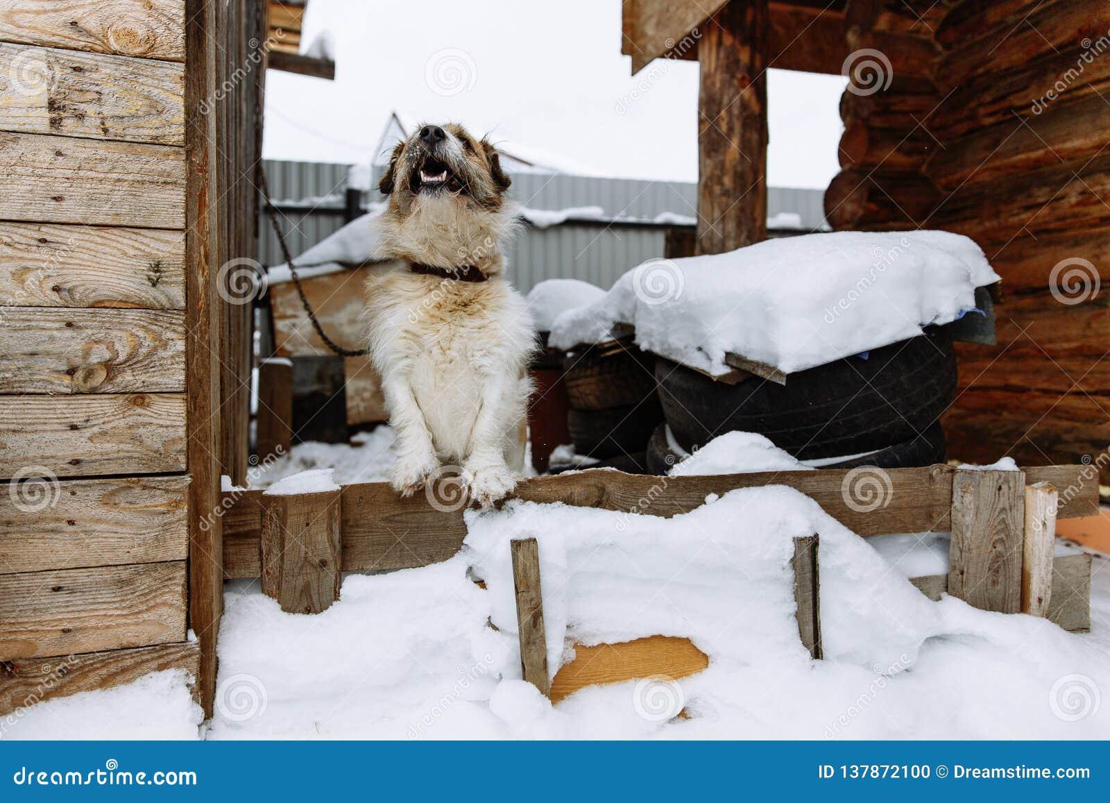 Domestic dog guarding home