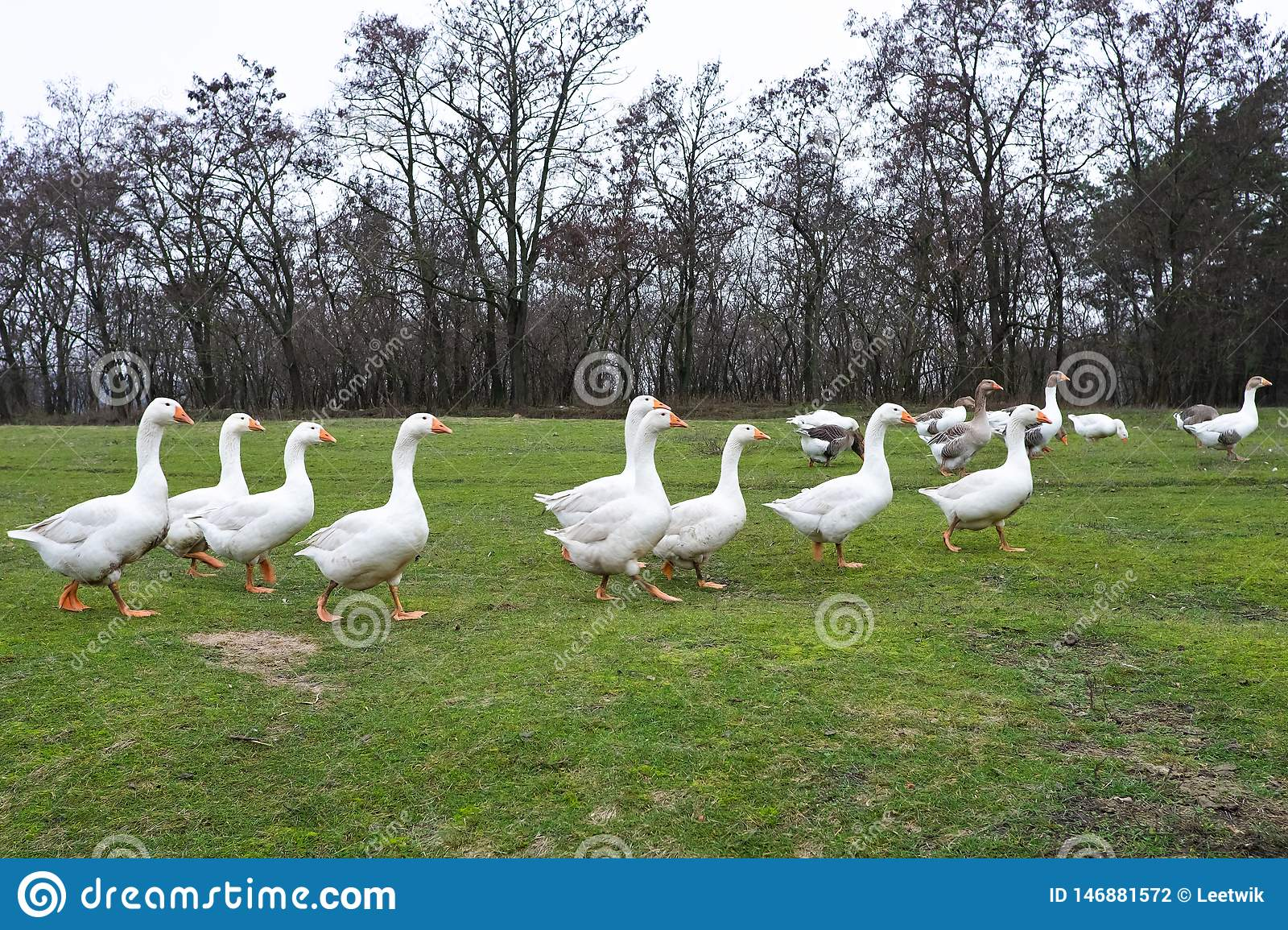 Domestic geese graze in the meadow. Poultry walk on the grass. Domestic geese are walking on the grass. Rural bird grazes in the