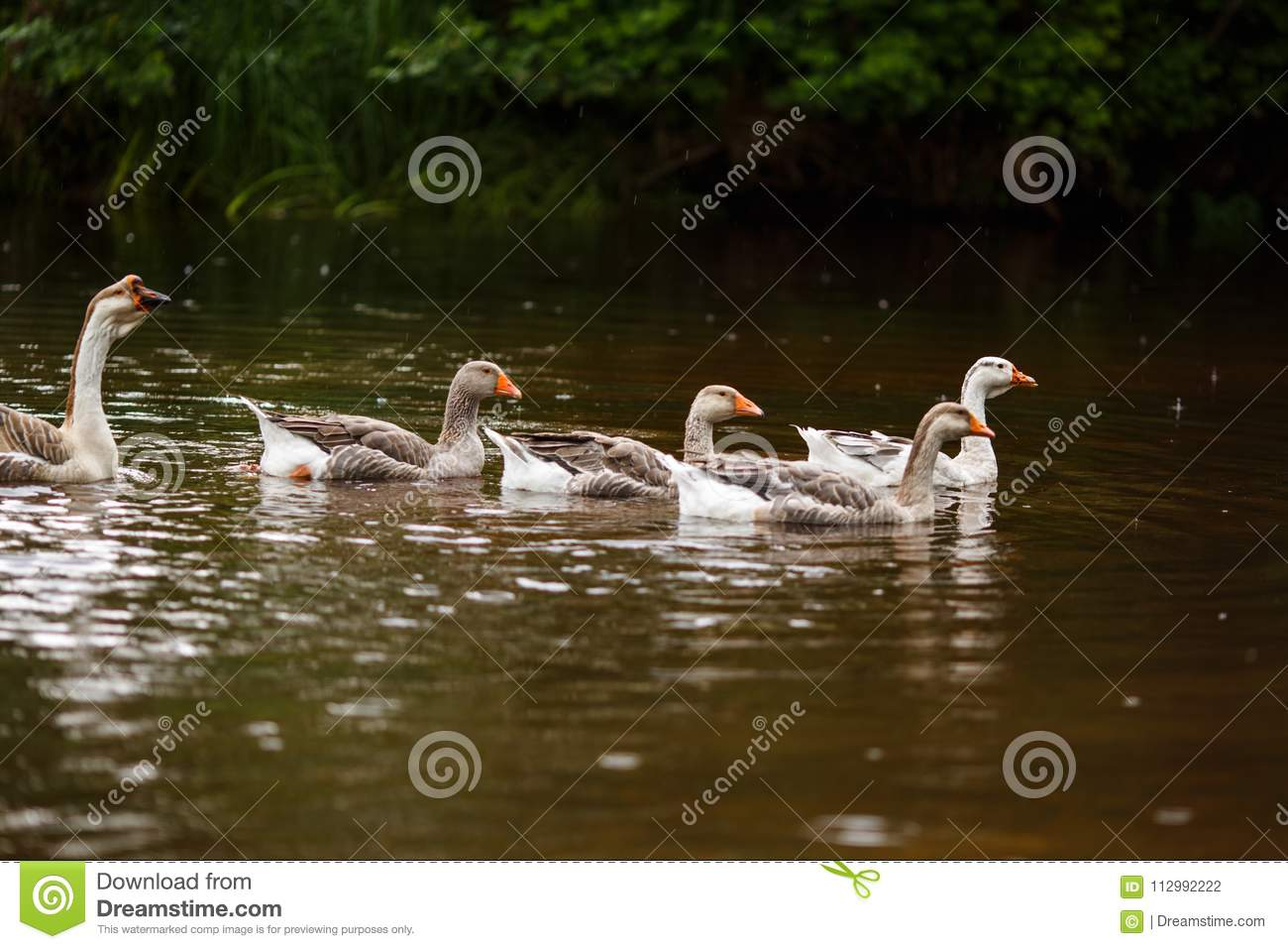Domestic geese near a farm pond