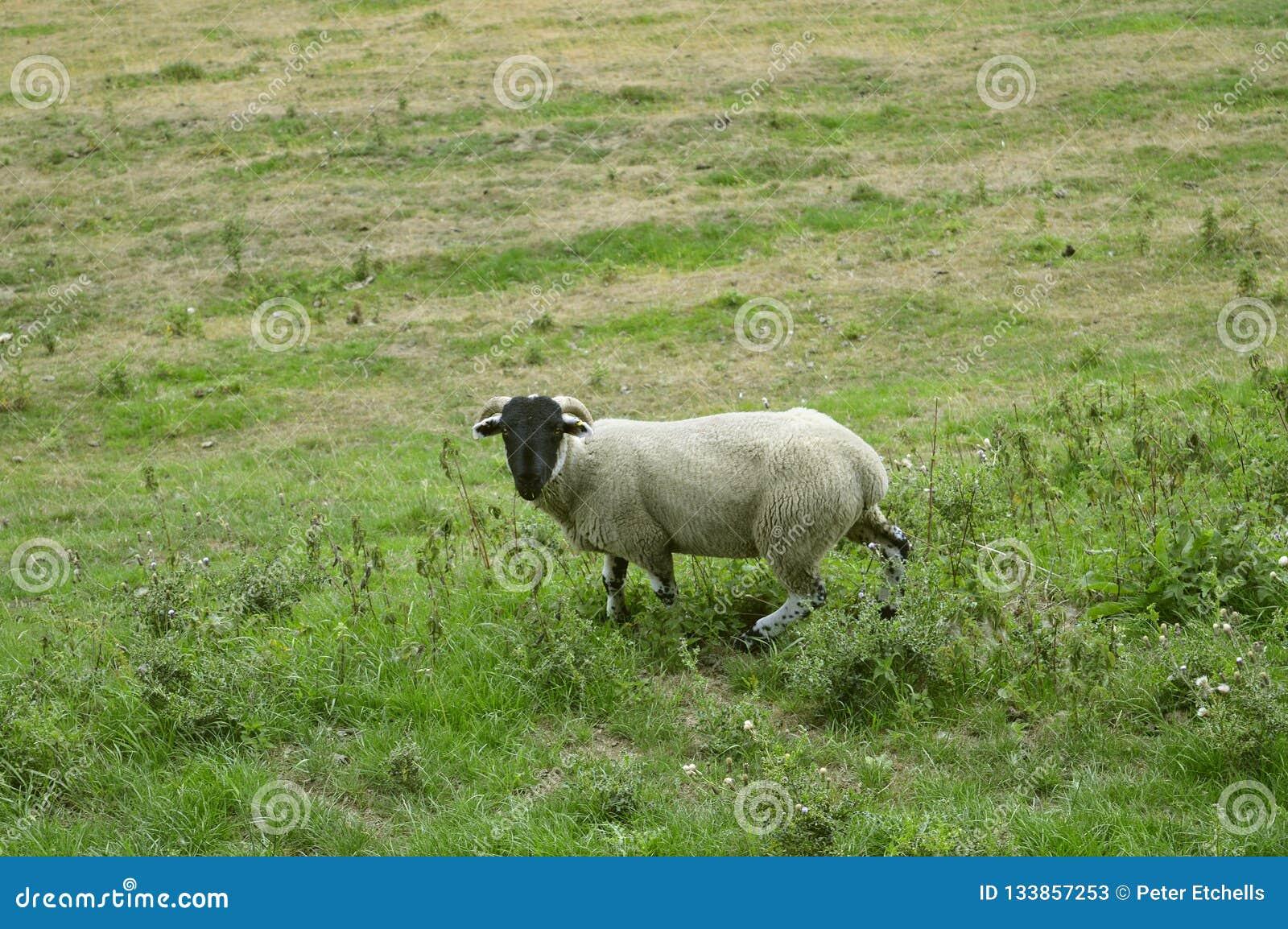 Male sheep ram in a field