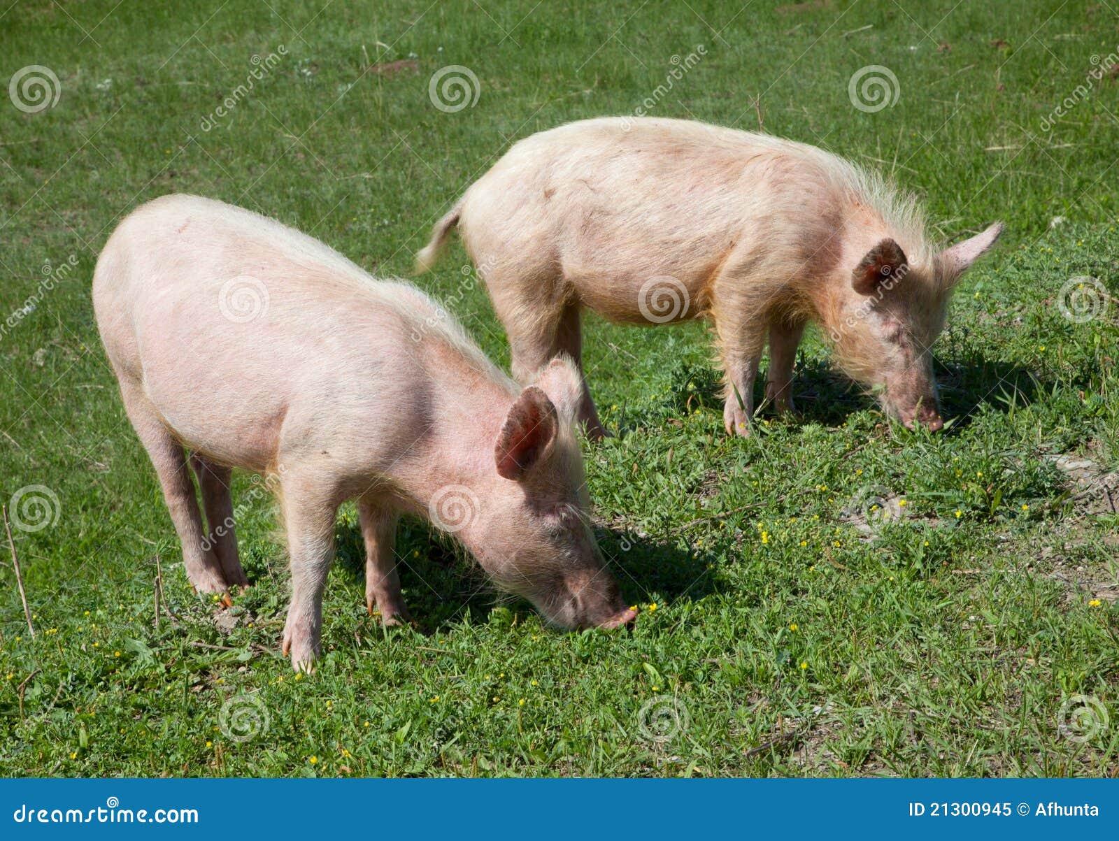 Domestic Pig Royalty Free Stock Photo - Image: 21300945