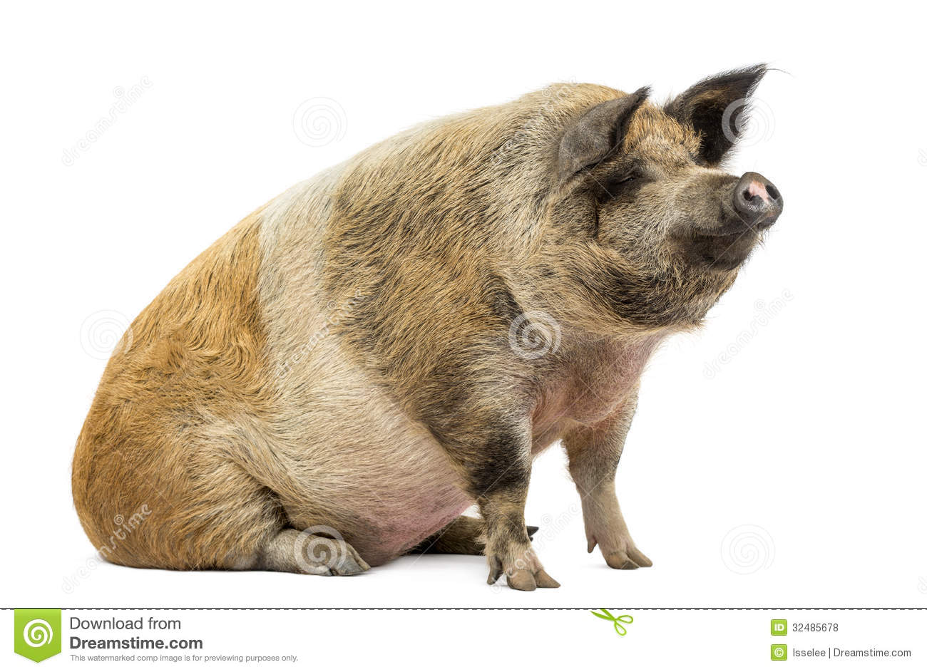 domestic pig sitting and looking away  isolated royalty Free Clip Art Moon Free Clip Art Moon