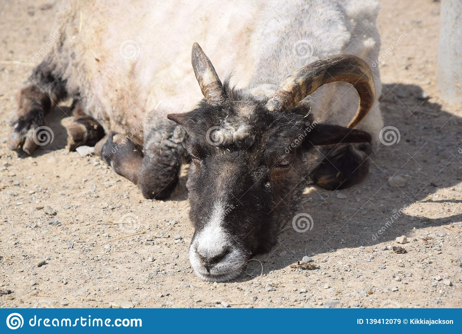 Domestic Sheep Ovis ammon f. aries Stock Photo