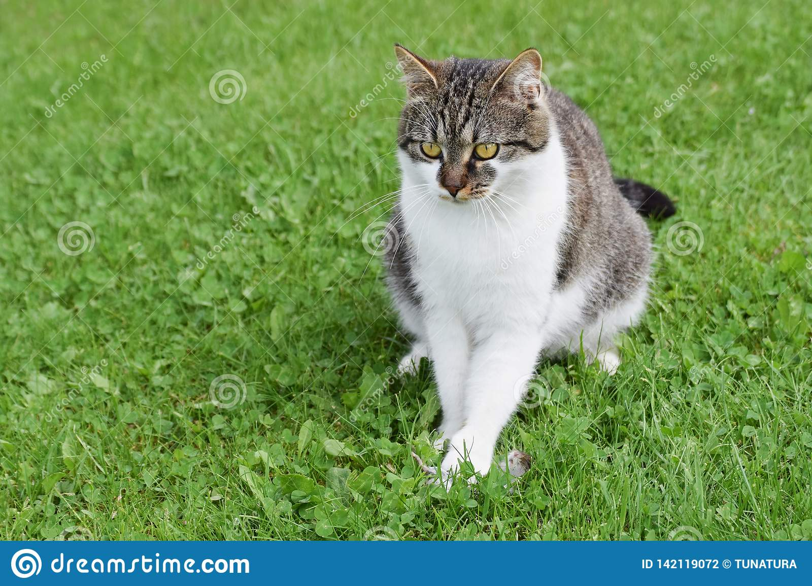 Domesticated cat caught mouse sitting on the green lawn