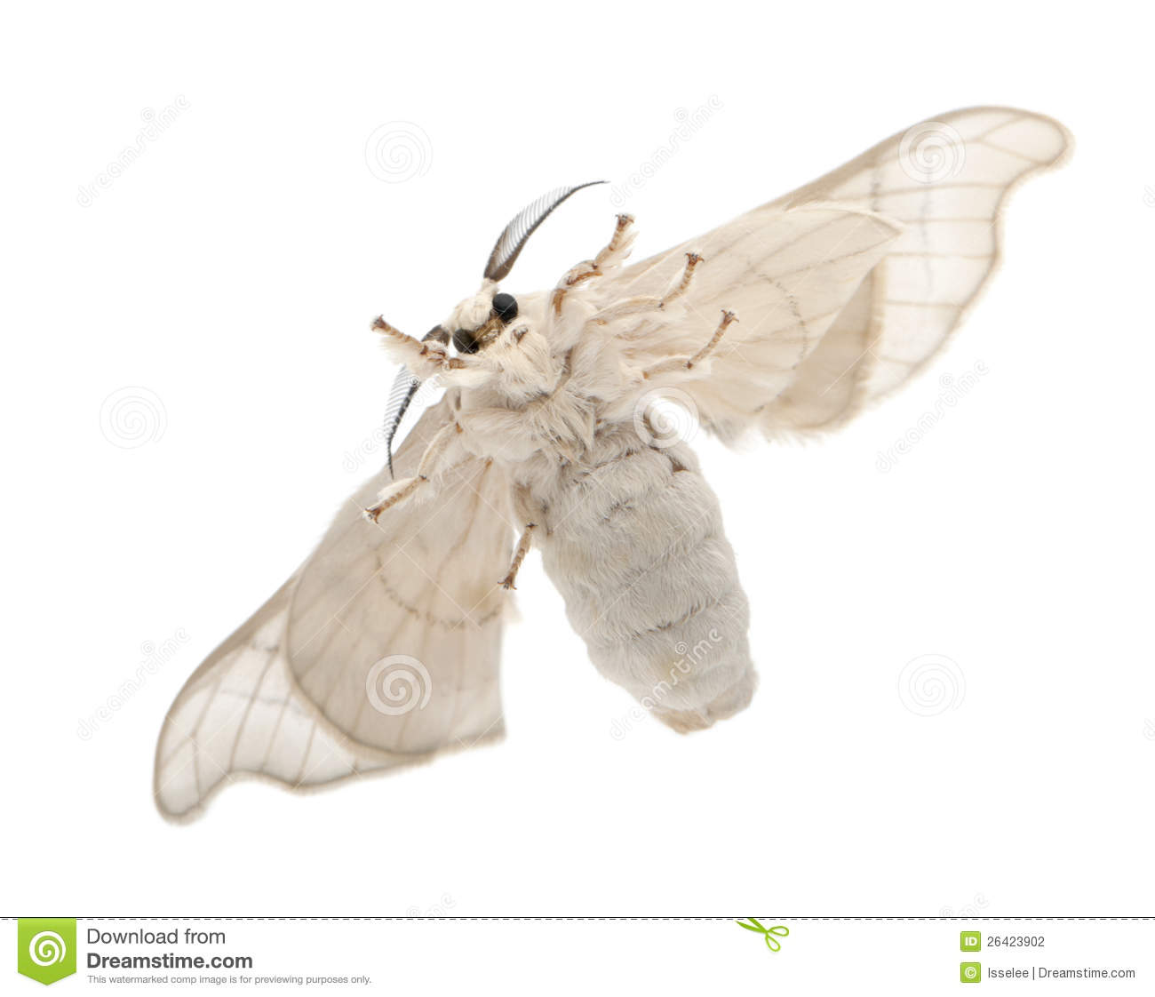 Domesticated Silkmoth, Bombyx Mori Stock Photo - Image of ...