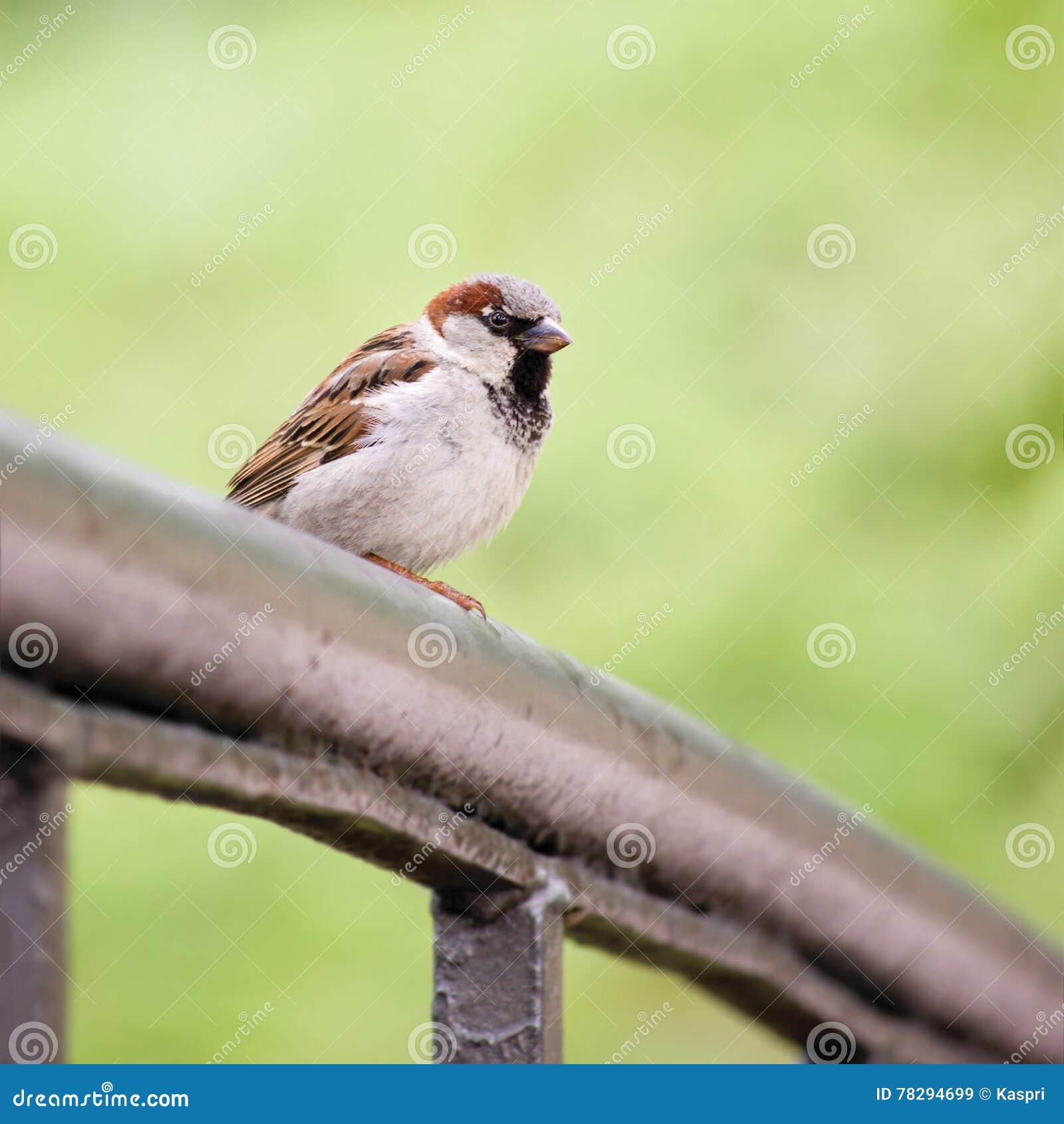 Domesticus do transmissor do pássaro do pardal no trilho da ponte, grande close up detalhado, Bokeh delicado