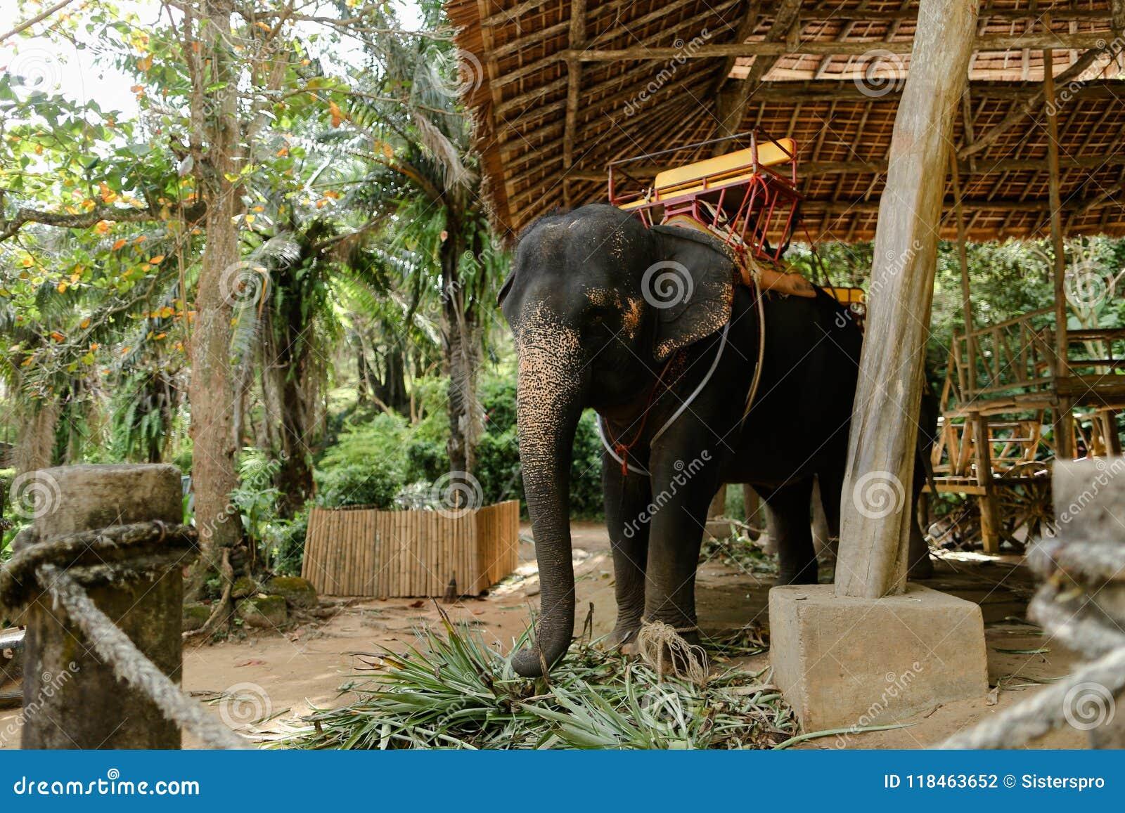 Domestizierter und gebundener großer Elefant, der mit Sattel steht