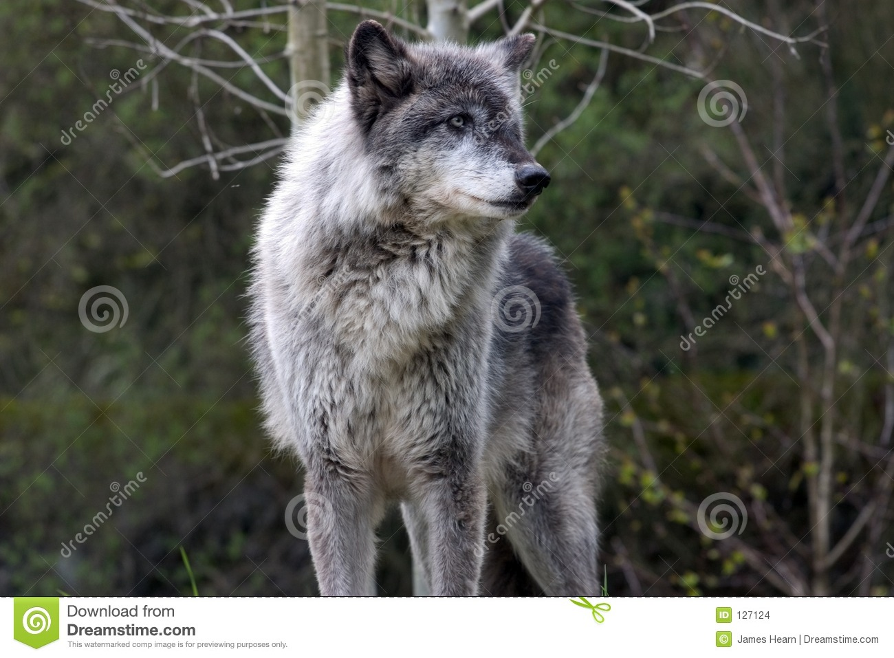 dominant grey wolf stock photo image of cool warm mean