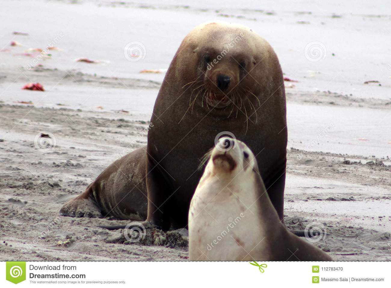 f25be2177 A dominant adult male Australian Sea Lion in Seal Bay ,South Australia