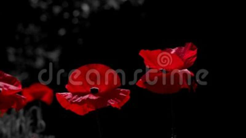 The dominant redntrast colors in poppyblood red in the brand contrast colors in poppyblood red in the brand stock video video of backgroundinematic dream 121977715 mightylinksfo