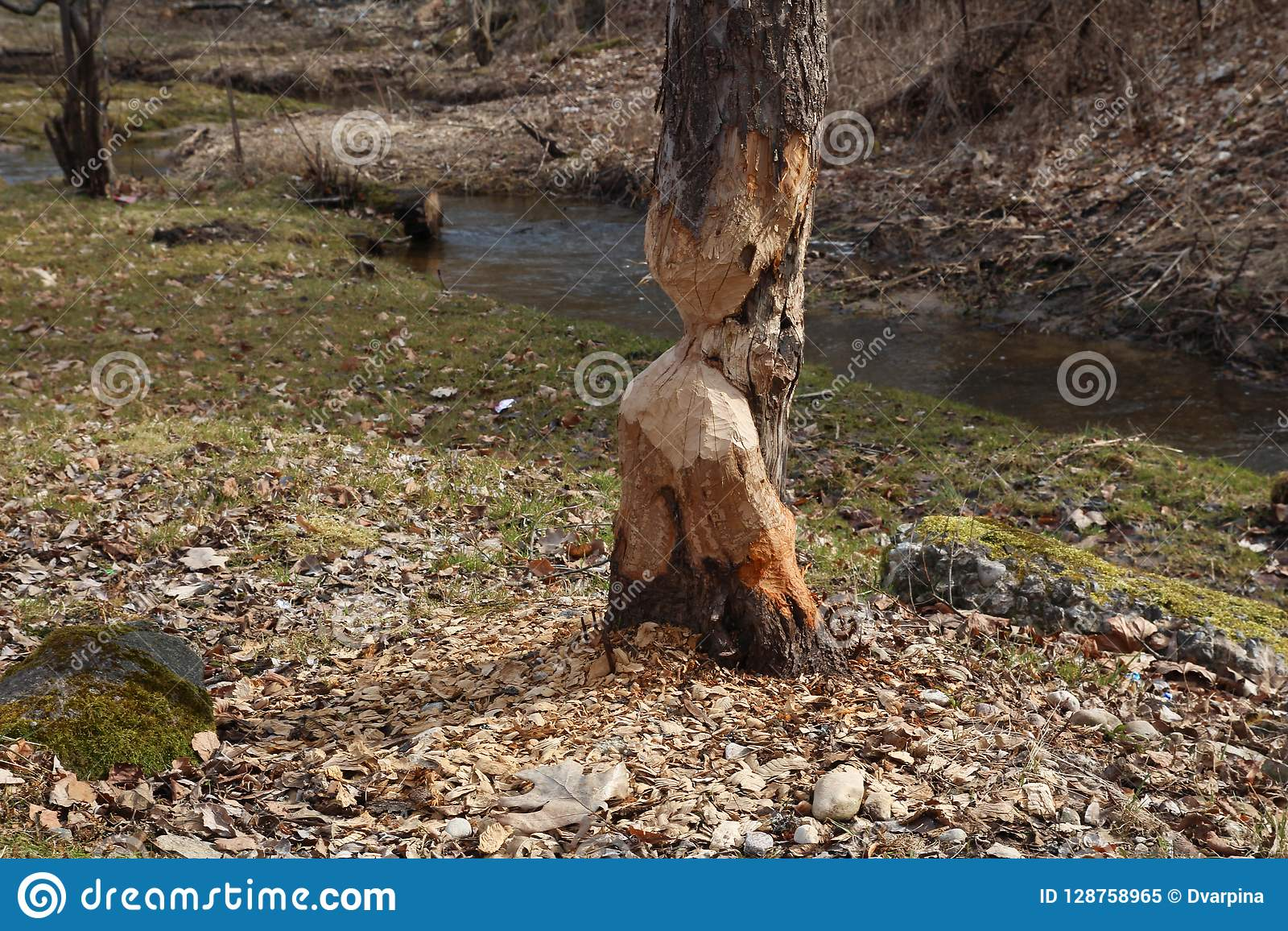 Dommages d arbre de castor Ils réduiront régulièrement des arbres Les castors mangent en grande partie l écorce et les feuilles d