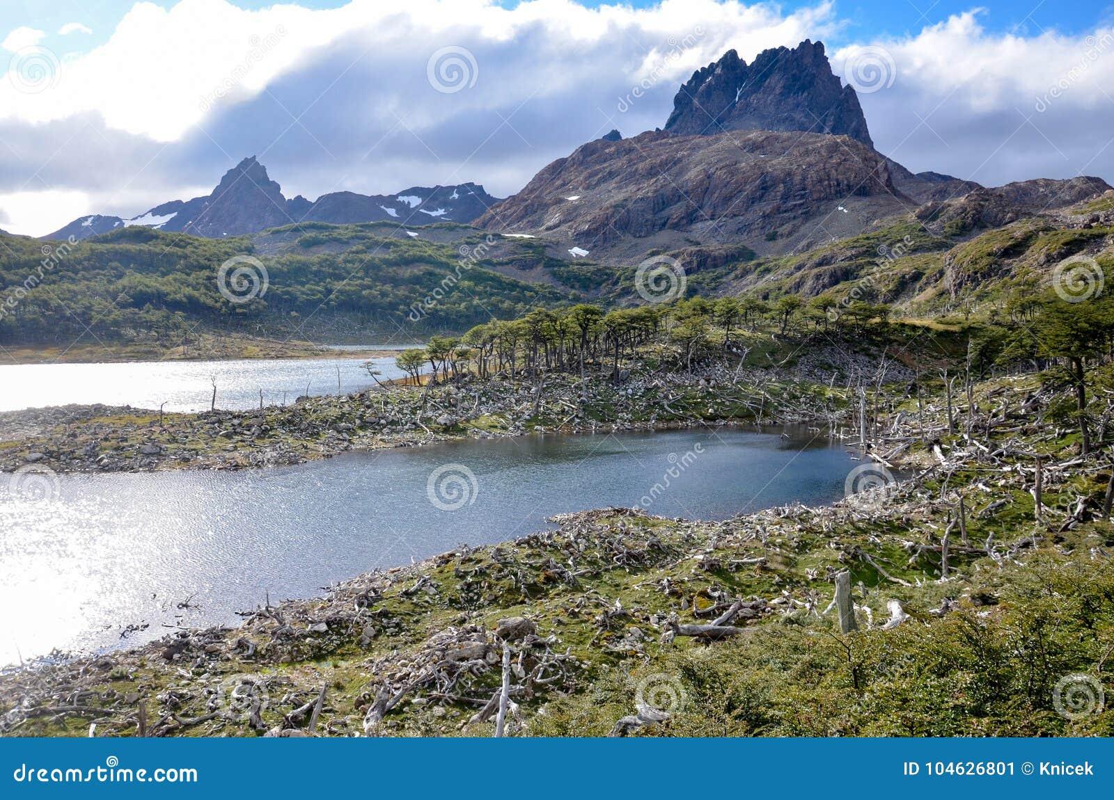 Dommages faits par les castors et le barrage de castor en Dientes de Navarino, Isla Navarino, Chili