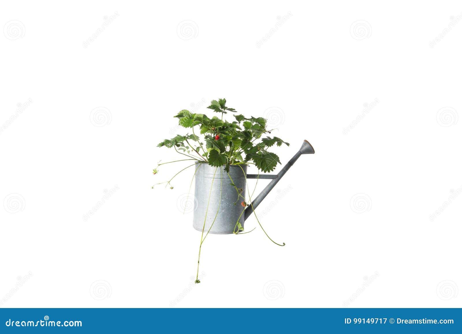 Domowa roślina w podlewanie puszce, roślina odizolowywająca na bielu