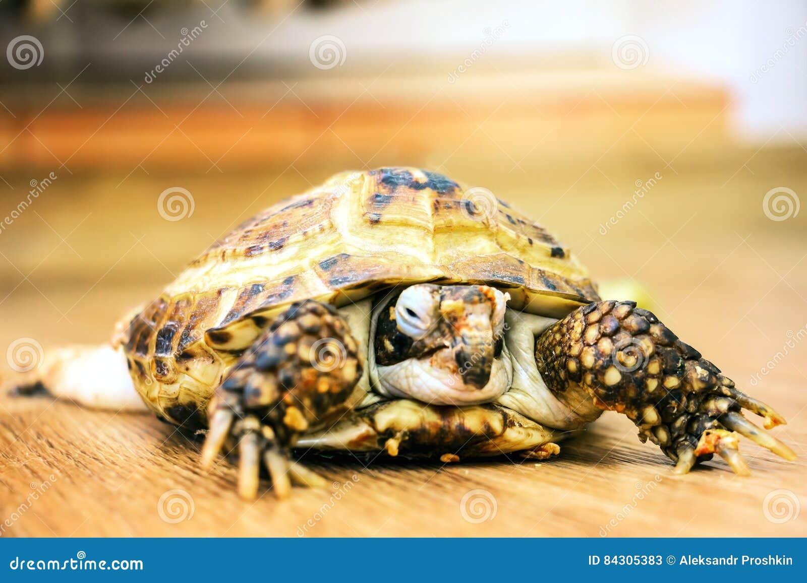 Domowy żółwia czołganie