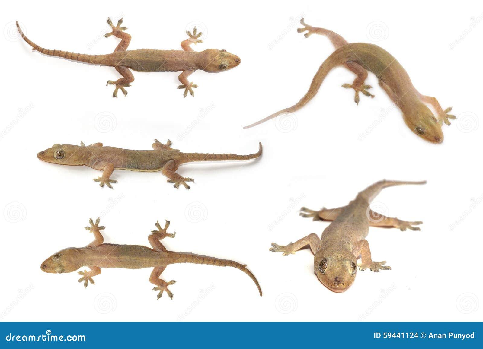 Domowy gekon, Stająca dom jaszczurka lub gekon lub