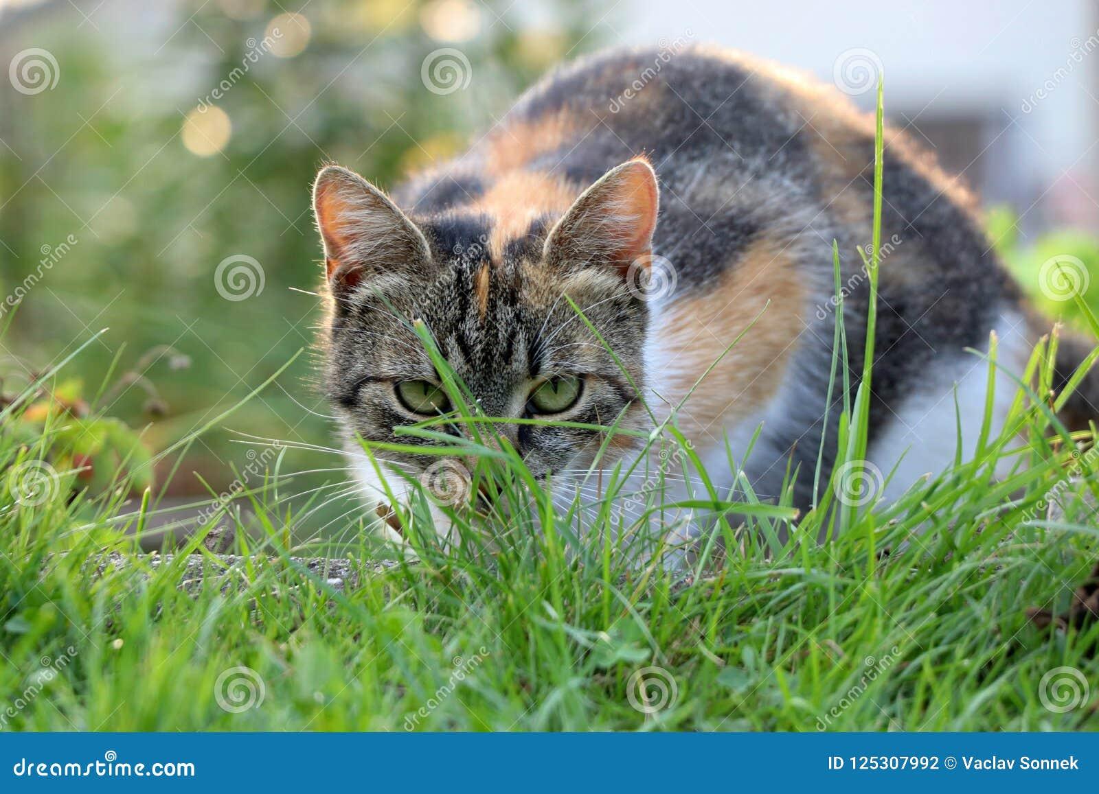 Domowy kot chuje w trawie i przygotowywający dla ataka przeciw niektóre specjalnemu insektowi