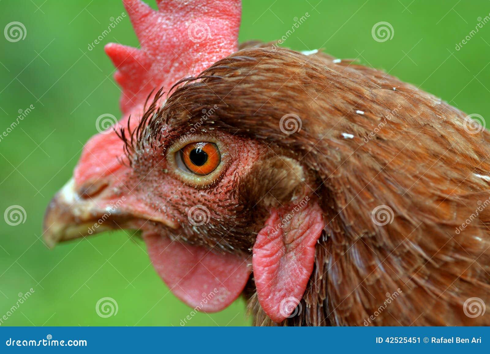 Domowy rolny kurczak
