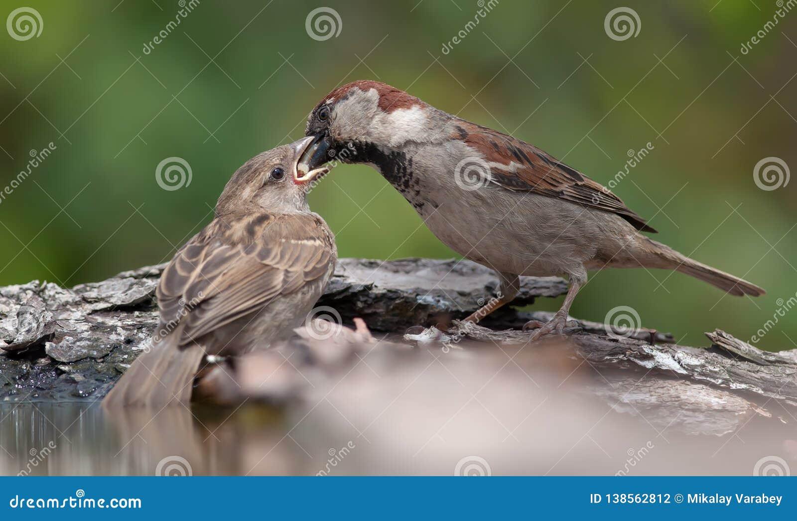 Domowy wróbel karmi jego dziecka od belfra belfer