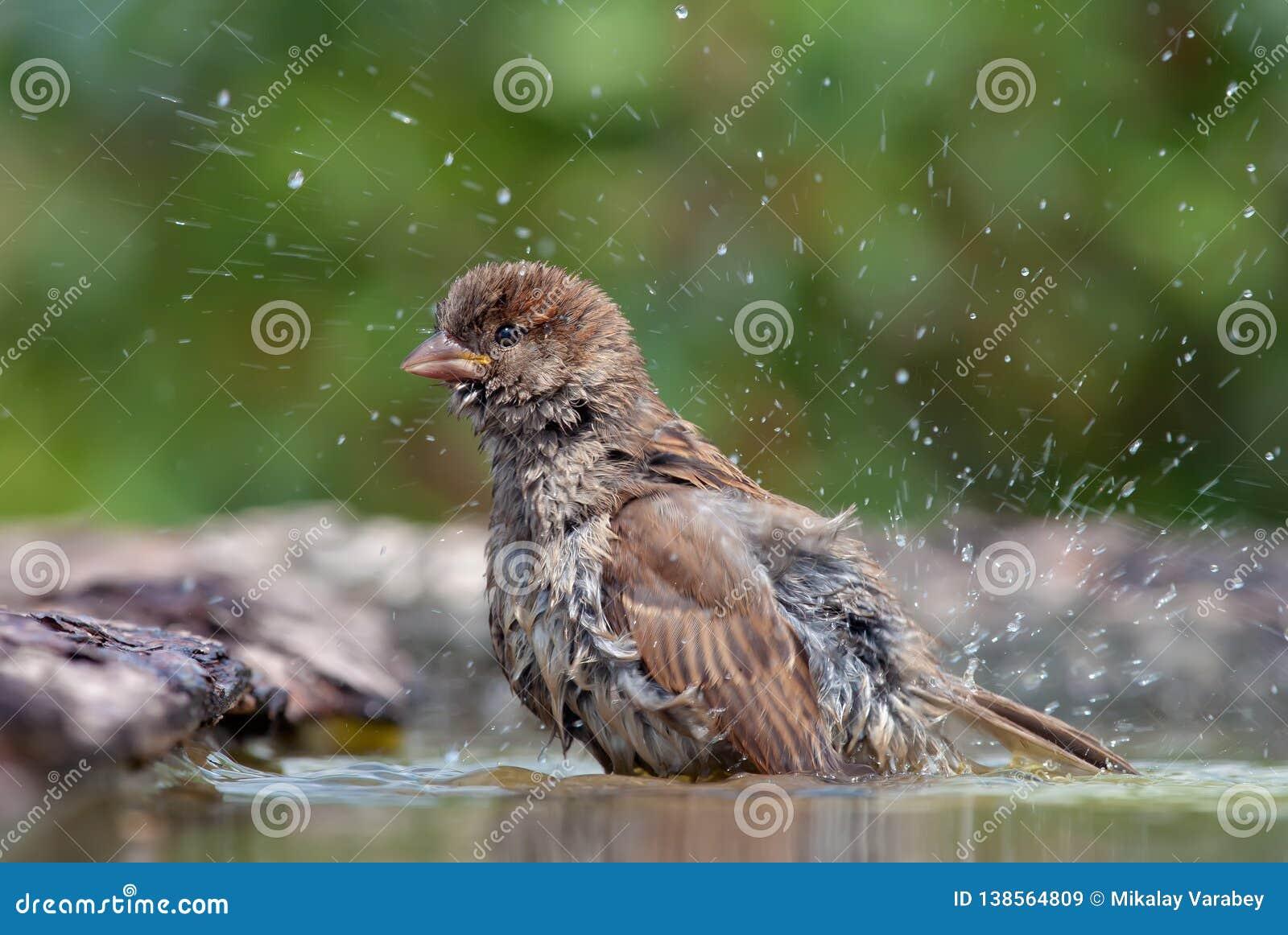 Domowy wróbel ono myje z kroplami wokoło woda