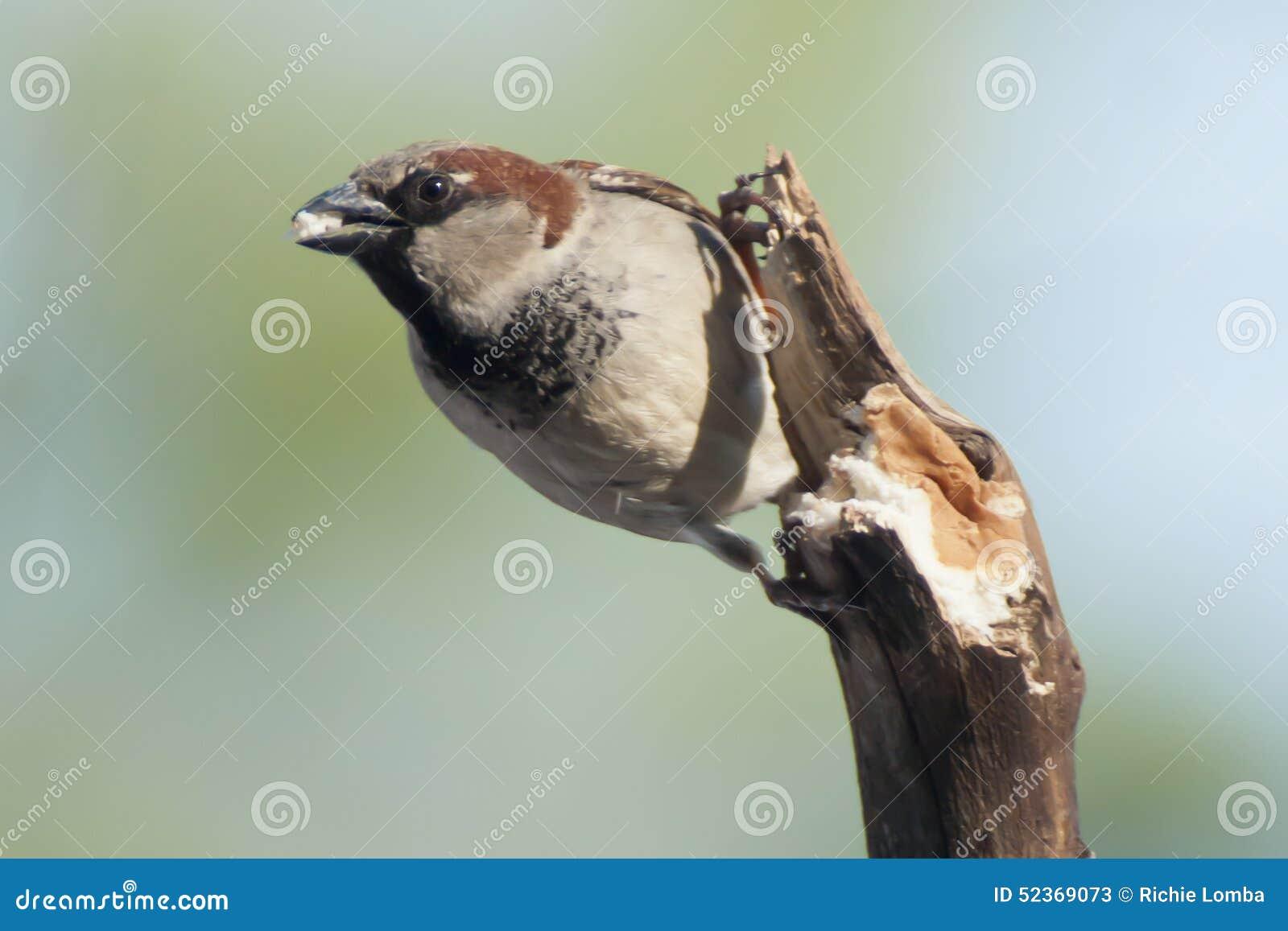 Domowy wróbel (samiec)