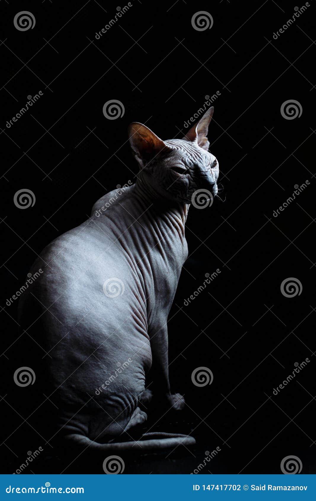 Don Sphynx-kat op een zwarte achtergrond